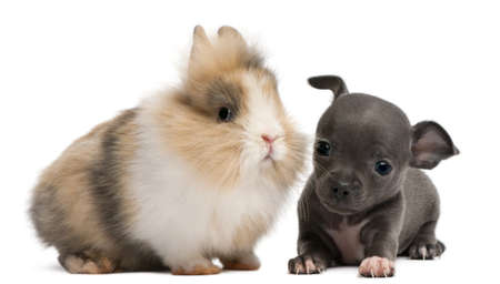 Chihuahua puppy, 6 weeks old, and rabbit in front of white background photo