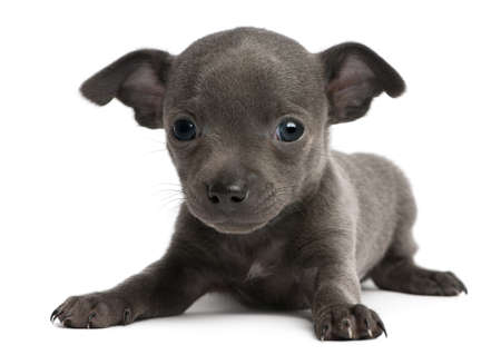 Chihuahua puppy, 6 weeks old, lying in front of white background photo