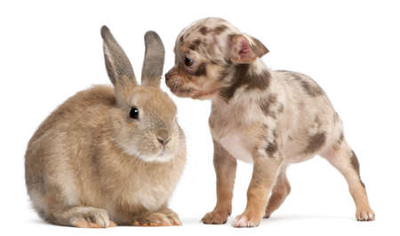 Chihuahua interacting with a rabbit in front of white background photo