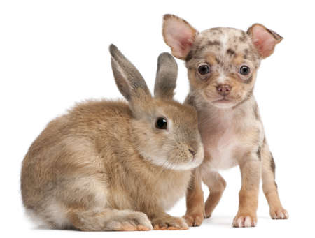 Chihuahua with a rabbit in front of white background photo