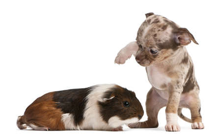 Chihuahua puppy interacting with a guinea pig in front of white background photo