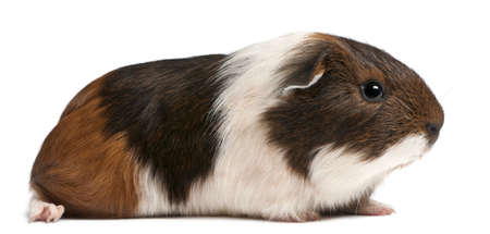 Guinea pig sitting in front of white background photo