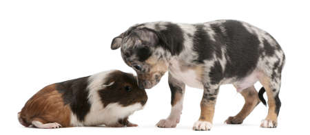 Chihuahua puppy interacting with a guinea pig in front of white background Stock Photo - 8651716
