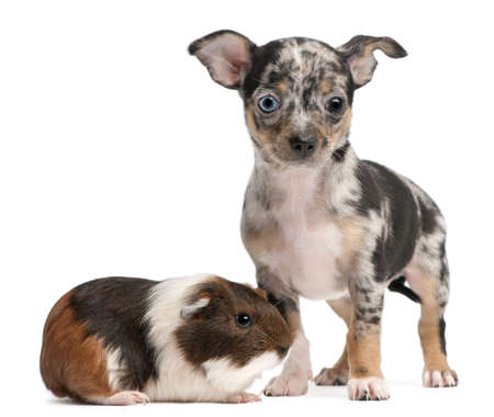 Chihuahua puppy with a guinea pig in front of white background Stock Photo - 8651973