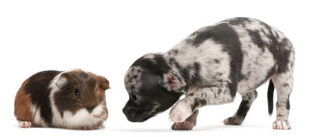Chihuahua puppy interacting with a guinea pig in front of white background Stock Photo - 8649886