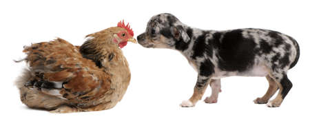 Chihuahua puppy interacting with a hen in front of white background Stock Photo - 8650421