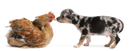 Chihuahua puppy interacting with a hen in front of white background Stock Photo - 8650457