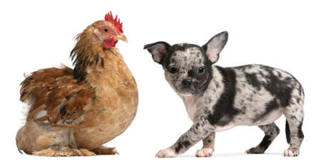 Chihuahua puppy interacting with a hen in front of white background Stock Photo - 8651835