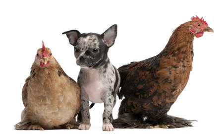 Chihuahua puppy interacting with a hens in front of white background Stock Photo - 8651652