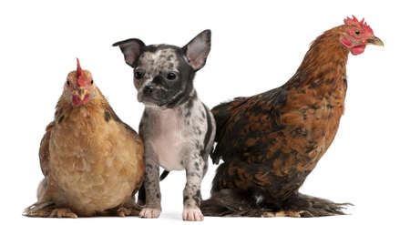 Chihuahua puppy interacting with a hens in front of white background Stock Photo - 8651496