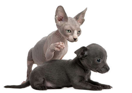 Chihuahua puppy, 10 weeks old, interacting with a Sphyx kitten, 8 weeks old, in front of white background photo