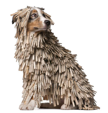 clothespins: Australian Shepherd puppy covered with Clothespins, 5 months old, sitting in front of white background