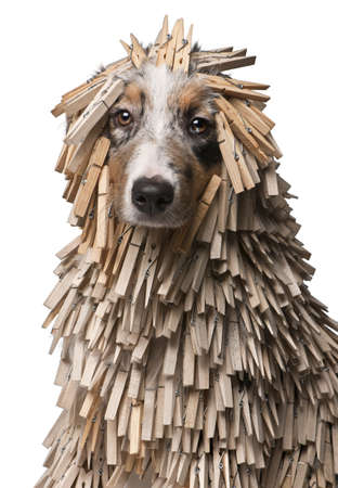 Australian Shepherd puppy covered with Clothespins, 5 months old, in front of white background photo