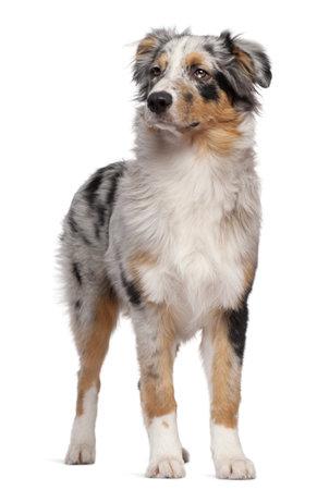 Australian Shepherd dog standing in front of white background photo