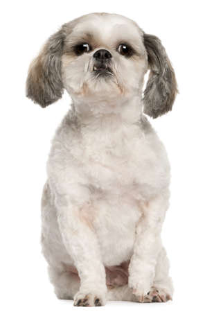 Shih Tzu, 2 and a half years old, sitting in front of white background photo