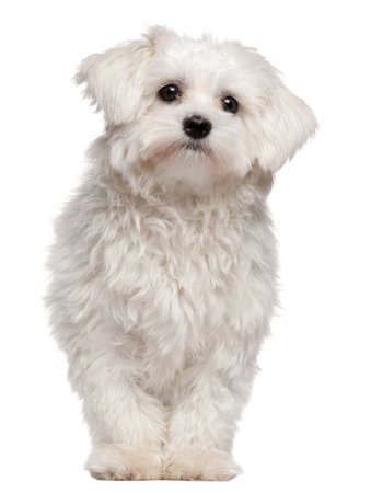 Maltese puppy, 9 month old, standing in front of white background photo
