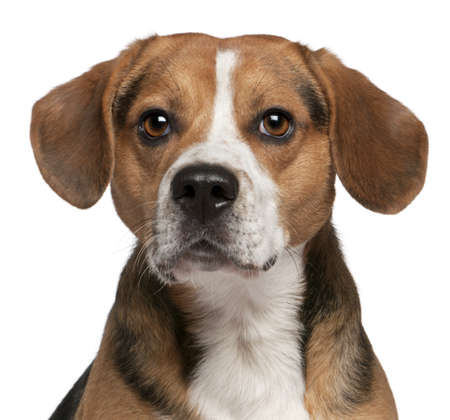 domestic animal: Close-up of Beagle, 3 years old, in front of white background