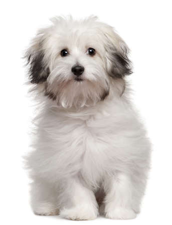 bolognese: Bolognese puppy, 6 months old, sitting in front of white background Stock Photo