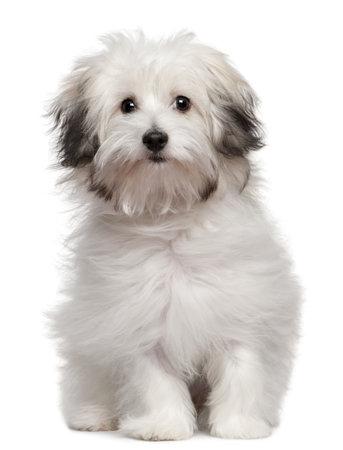 Chiot bolonais, blanc de 6 mois, assis en face de fond