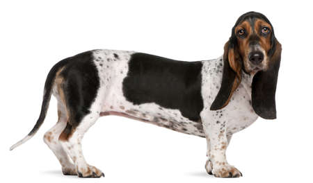 Basset Artésien Normand dog, 11 months old, standing in front of white background photo