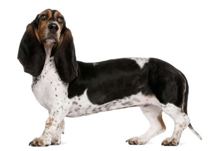 long tail: Basset Normand dog, 11 months old, standing in front of white background