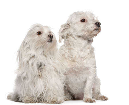 Maltese dogs, 5 and 7 years old, sitting in front of white background photo