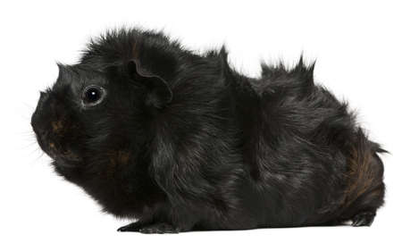 Black guinea pig, 3 years old, in front of white background