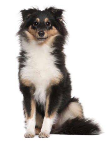 Shetland Sheepdog puppy, 6 months old, sitting in front of white background photo