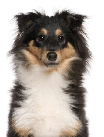 Close-up of Shetland Sheepdog puppy, 6 months old, in front of white background photo