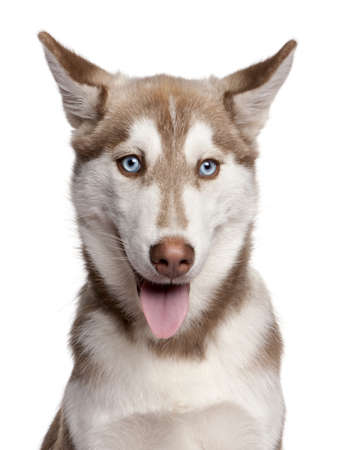 Close-up of Siberian Husky puppy, 4 months old, in front of white background photo