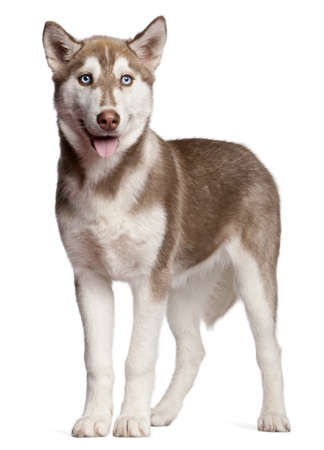 siberian: Siberian Husky puppy, 4 months old, standing in front of white background