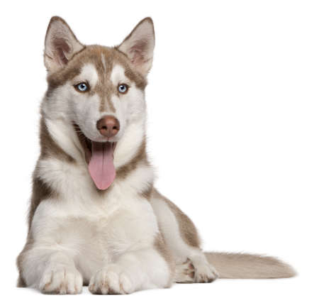 husky: Siberian Husky puppy, 4 months old, lying in front of white background Stock Photo