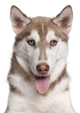 siberian husky: Close-up of Siberian Husky puppy, 4 months old, in front of white background
