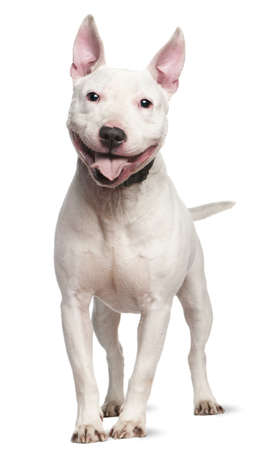 Staffordshire Bull Terrier, 4  years old, standing in front of white background photo
