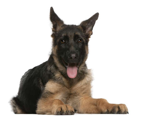 German Shepherd puppy, 4 months old, lying in front of white background Stock Photo - 8651858