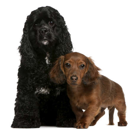 American Cocker Spaniel, 2 years old, and Dachshund puppy, 4 months old, in front of white background photo