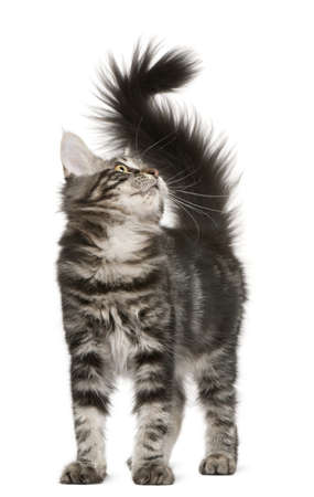 furry tail: Maine Coon kitten, 4 months old, looking up in front of white background Stock Photo