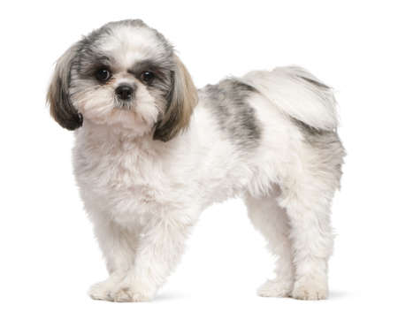 Shih Tzu, 8 months old, standing in front of white background photo