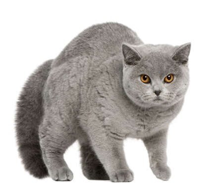 British Shorthair Cat, 8 months old, walking in front of white background photo