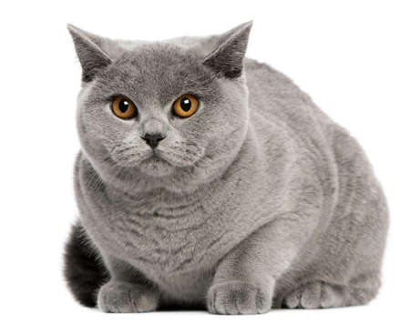 British Shorthair Cat, 8 months old, sitting in front of white background photo