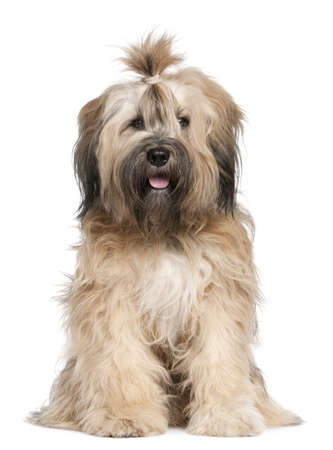 terriers: Tibetan Terrier, 1 year old, sitting in front of white background