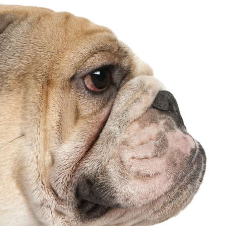 Close-up of English Bulldog, 16 months old, in front of white background Stock Photo - 8651277