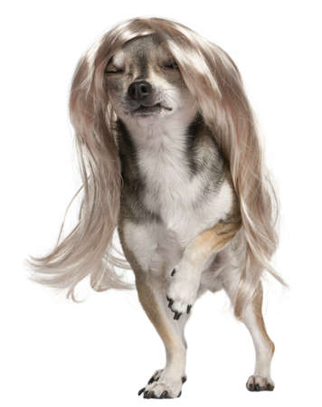 long hair chihuahua: Chihuahua with long hair wig, 3 years old, standing in front of white background