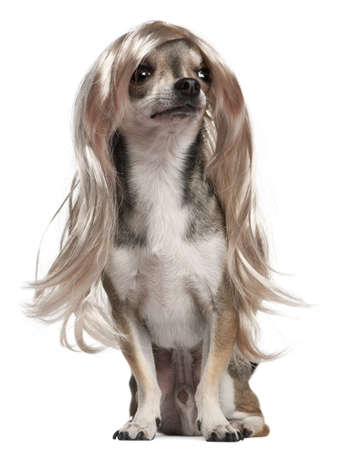 long hair chihuahua: Chihuahua with long hair wig, 3 years old, sitting in front of white background