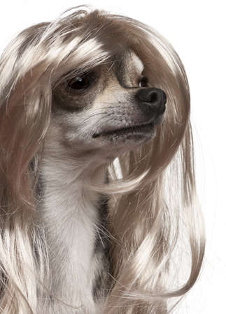 long hair chihuahua: Close-up of Chihuahua with long hair wig, 3 years old, in front of white background