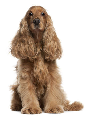 old english: English Cocker Spaniel, 9 years old, sitting in front of white background