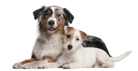 white shepherd dog: Cane da pastore australiano, 1 anno di et�, cucciolo Parson Russell Terrier, 6 mesi di et�, che giace davanti a sfondo bianco Archivio Fotografico