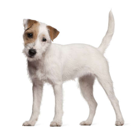 terrier: Parson Russell Terrier puppy, 6 months old, standing in front of white background