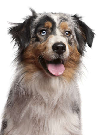 1 year old: Close-up of Australian Shepherd dog, 1 year old, in front of white background Stock Photo