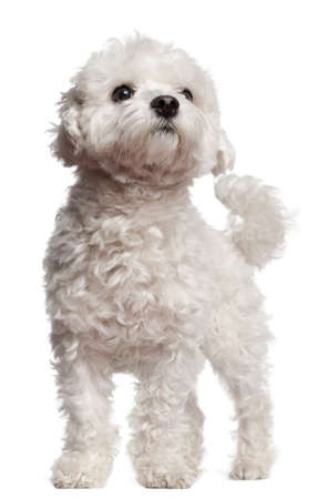 Maltese, 2 and a half years old, standing in front of white background photo